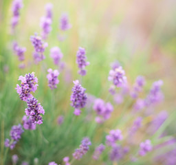 Bush of lavender.