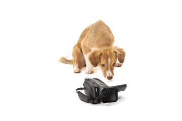 Dog looking at camcorder