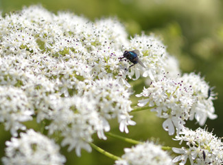 Blue insect fly on the white flower