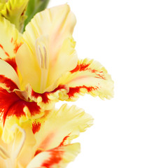 Beautiful colorful gladiolus isolated square background