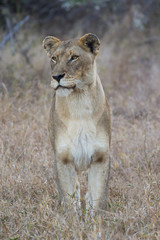 Portrait of a lioness in the wild