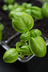 Close-up of growing green basil, vertical shot