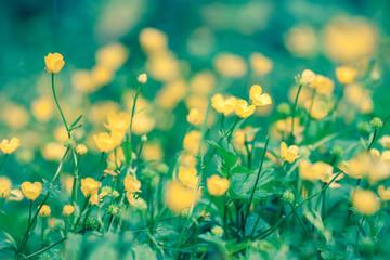 yellow flowers Ranunculus repens