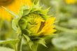 O Sonnenblume, öffne dich!