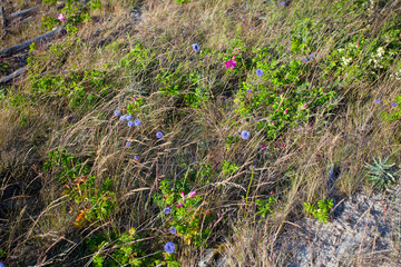 wildflowers on baltic sea cost in Lithuania