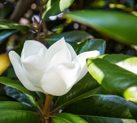 Single White Magnolia Blossom