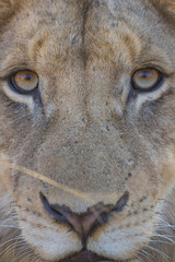 Portrait of a young lion's face