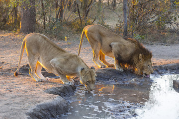 Male and female lion drinking water at sunset