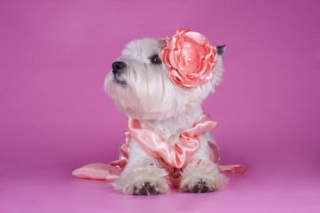 dog in a gentle pink dress on a pink background