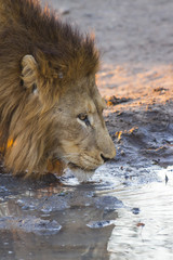Male lion drinking water at sunset