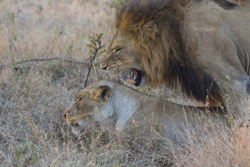 Male and female lion mating in the wild