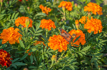 Monarch Butterfly feeding on Tagetes flower (marigold).