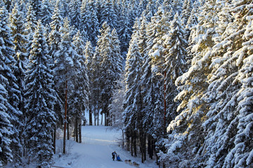 Winter coniferous forest background