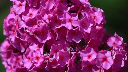 Garden phlox with natural audio sound