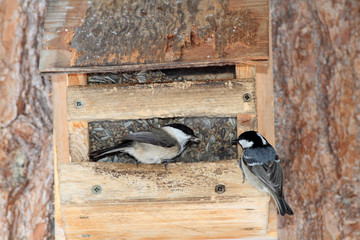 cincia bigia alpestre nido