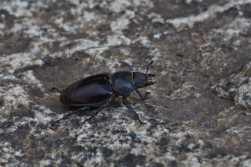 Male stag beetle with huge horns.