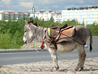 Zoo in the city of Nadym. Pony is on the road.