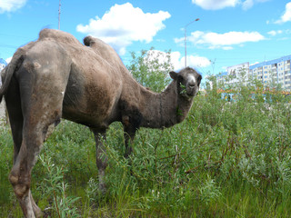 Zoo in the city of Nadym. Camel on the grass.