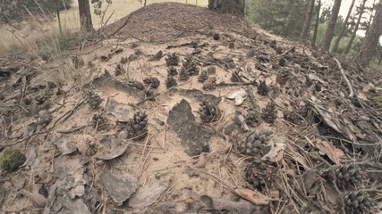 Forest ants swarming amid pine cones on their home mound.
