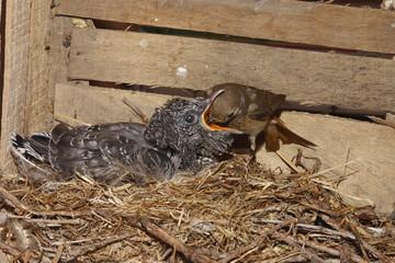 cuculo codirosso uccello