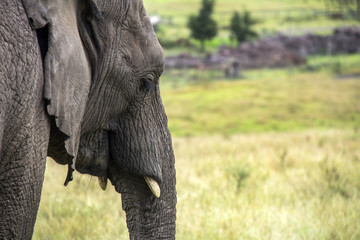 elephant and green savana