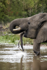 elephant drinking along the river