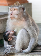 Lactating macaque