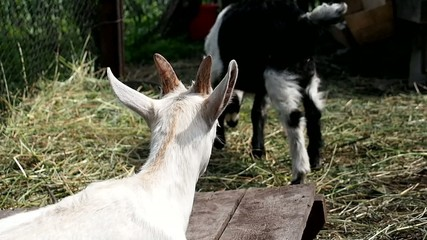 Little goats in the barnyard