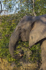 Elephant eating in the bush