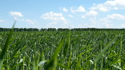 Big green field of young wheat