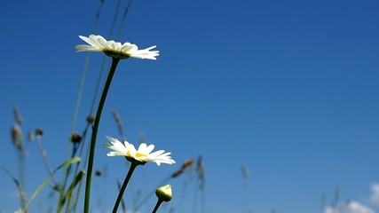 Daisies on a bright sunny day against blue sky