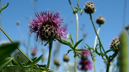 Blooming thistle on a summer meadow