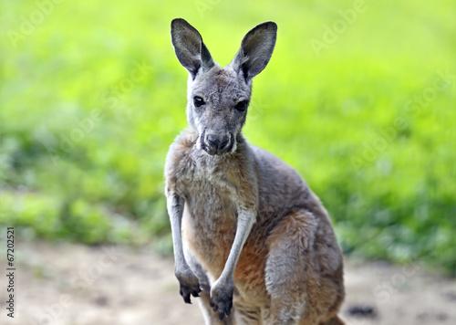 Staande foto Kangoeroe Kangaroo