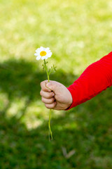 A child holding a daisy in his hand