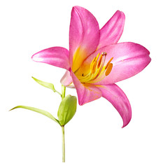 pink  lily isolated on white background