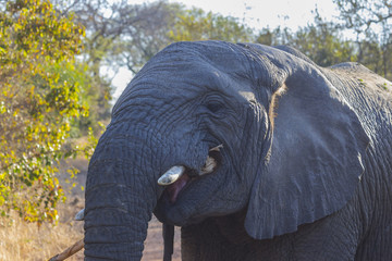 Elephant eating bark off of a branch