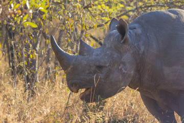 Black rhino in the wild