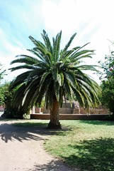 Exotic tree on the Palatino hill in Rome