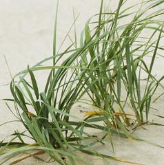 Green grass on sand.