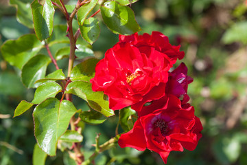 red wild rose with thorns outdoors