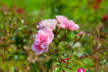 beautiful wild pink rose bush