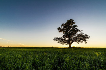 Lonely tree at dawn