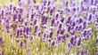 Lavender Field (close-up)