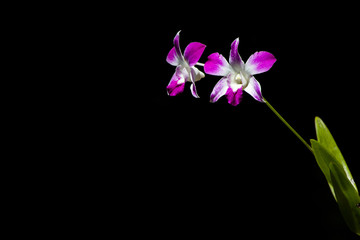 Pink cultivated orchid isolated