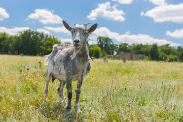 Young goat on a summer pasture