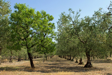 Olive and almond tree