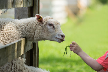 Child feeding  a sheep