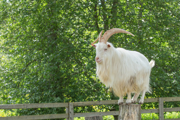 He-goat standing on a stump