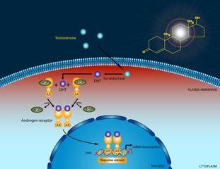 Testosterone signaling