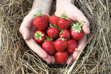 Fresh Strawberry in Hands.
